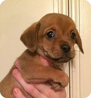 Pug/Dachshund Mix Puppy for adoption in Kittery, Maine - Buttercup