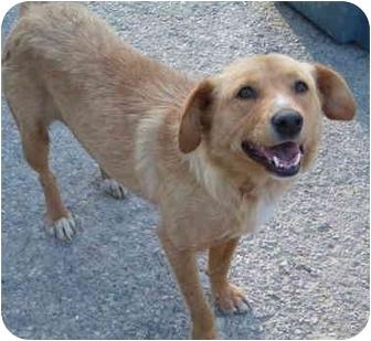 Sheltie, Shetland Sheepdog/Shepherd (Unknown Type) Mix Dog for adoption in Rising Sun, Indiana - Leyla