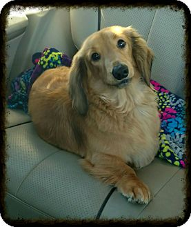 Dachshund Dog for adoption in Mary Esther, Florida - Spencer