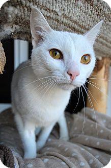 Domestic Shorthair Cat for adoption in Michigan City, Indiana - Meryl