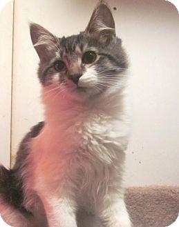 Domestic Shorthair Kitten for adoption in Springfield, Oregon - Brandy