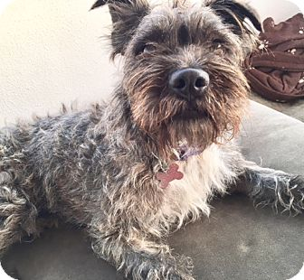 Miniature Schnauzer/Cairn Terrier Mix Dog for adoption in Los Angeles, California - HARRISON