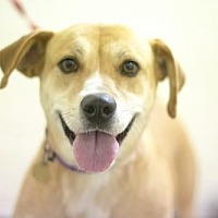 Adopt A Pet :: Goldie - Mountain Home, AR