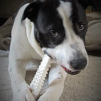 Adopt A Pet :: Dudley (Foster or Adopt) - Columbus, OH