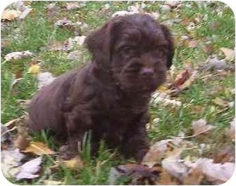 Maltese/Yorkie, Yorkshire Terrier Mix Puppy for adoption in Evansville, Indiana - Tanner