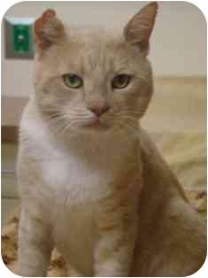 Domestic Shorthair Cat for adoption in Norwalk, Connecticut - Mr. Big