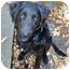 Photo 1 - Flat-Coated Retriever/Labrador Retriever Mix Dog for adoption in Powell, Ohio - Sampson