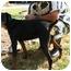 Photo 1 - Doberman Pinscher Dog for adoption in Dahlonega, Georgia - Georgia