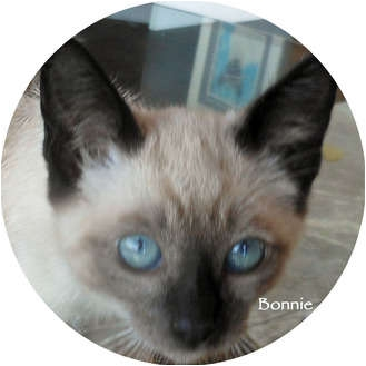 Siamese Kitten for adoption in Mandeville Canyon, California - Bonnie