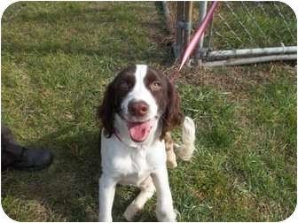 English Springer Spaniel Puppy for adoption in Lapeer, Michigan - Cinder