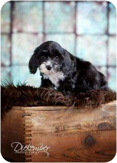 Cockapoo Mix Puppy for adoption in Vandalia, Illinois - Girl 3