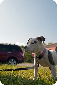 American Pit Bull Terrier Mix Puppy for adoption in Hillsborough, New Jersey - Summer
