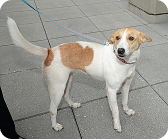 Beagle Mix Dog for adoption in New York, New York - Miss Mabel