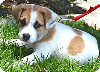 St. Bernard/English Bulldog Mix Puppy for adoption in Los Angeles, California - Beethoven
