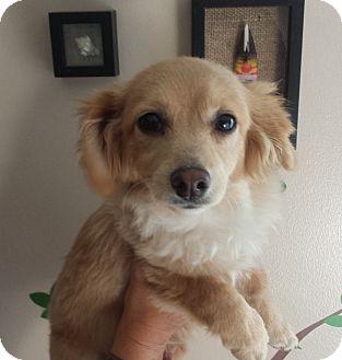 Cocker Spaniel/Papillon Mix Puppy for adoption in Santa Ana, California - Leah