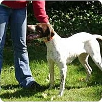 Adopt A Pet :: Female English Pointer - Attica, NY
