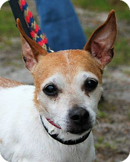 Jack Russell Terrier Mix Dog for adoption in Manahawkin, New Jersey - Milo