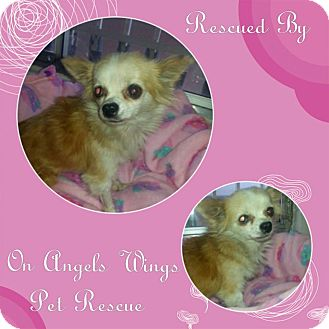 Chihuahua Mix Dog for adoption in Gilbert, Arizona - Amber