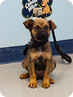 Shepherd (Unknown Type) Mix Puppy for adoption in Fort Lupton, Colorado - Magda