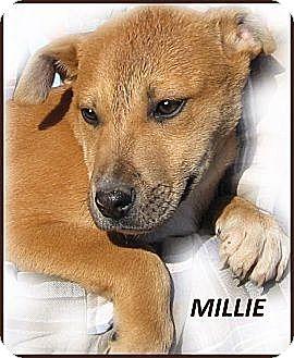 Mountain Cur/Basenji Mix Puppy for adoption in Marlborough, Massachusetts - Millie--A Sweetheart