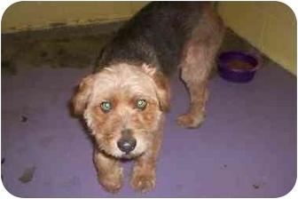 Airedale Terrier Mix Dog for adoption in Raeford, North Carolina - tara