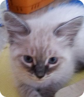 Siamese Kitten for adoption in Encinitas, California - Tristan