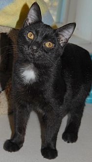 Domestic Shorthair Cat for adoption in Shelbyville, Tennessee - Tater