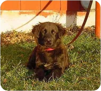 Golden Retriever/English Springer Spaniel Mix Puppy for adoption in Austin, Minnesota - Ruben
