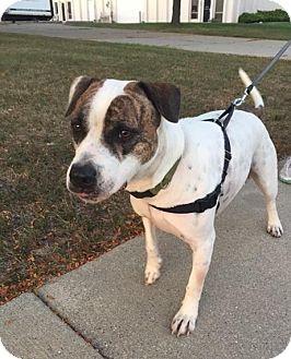 American Bulldog/Hound (Unknown Type) Mix Dog for adoption in Warren, Michigan - Pepe -Sweet, Smart & Handsome!
