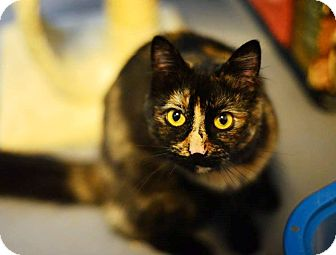 Domestic Longhair Cat for adoption in Beacon, New York - Lenacat