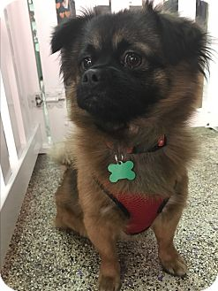 Pomeranian/Pug Mix Dog for adoption in Thousand Oaks, California - Alberto