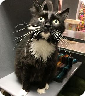 Maine Coon Cat for adoption in Hendersonville, North Carolina - Riley