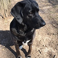 Labrador Retriever/Hound (Unknown Type) Mix Dog for adoption in Fort Atkinson, Wisconsin - Nellie