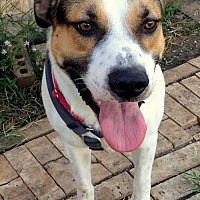 Adopt A Pet :: Charlie VIII - Dallas, TX