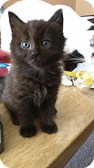 Domestic Mediumhair Kitten for adoption in Anaheim Hills, California - Midnight
