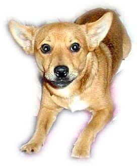 Chihuahua/Miniature Pinscher Mix Dog for adoption in Cantonment, Florida - Paco