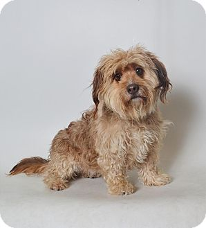 Lhasa Apso Mix Dog for adoption in Fruit Heights, Utah - Lucy