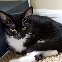 Domestic Shorthair Kitten for adoption in Southampton, New York - ELIZA