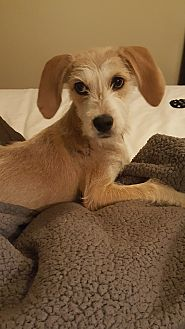 Labrador Retriever/Terrier (Unknown Type, Medium) Mix Puppy for adoption in Portsmouth, New Hampshire - MAE