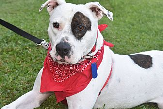 Pit Bull Terrier Mix Dog for adoption in Albemarle, North Carolina - Samuel