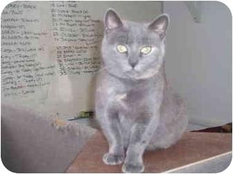 Domestic Shorthair Cat for adoption in Hamburg, New York - Mirabella