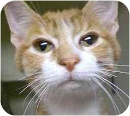 Domestic Shorthair Kitten for adoption in Lombard, Illinois - Pluto