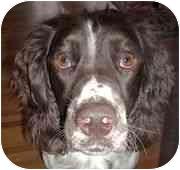 English Springer Spaniel Dog for adoption in Minneapolis, Minnesota - Carter (MN)