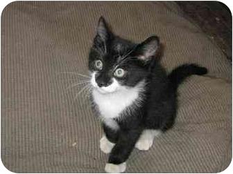 Domestic Shorthair Kitten for adoption in Bloomsburg, Pennsylvania - Comet