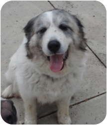 Great Pyrenees Mix Dog for adoption in Bloomington, Illinois - Wynnie PENDING