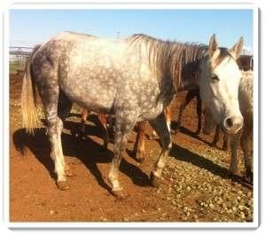 Quarterhorse Mix for adoption in Sac, California - Sheena