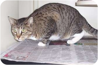 Domestic Shorthair Cat for adoption in Marshall, Texas - Miss Kitty