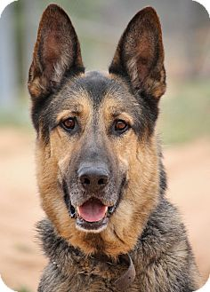 German Shepherd Dog Dog for adoption in Los Angeles, California - Duke von Darmstadt
