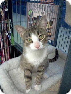 Domestic Shorthair Cat for adoption in Trenton, New Jersey - Heidi (PetValu EWindsor)