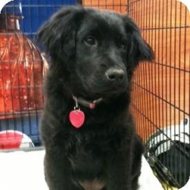 Border Collie Mix Dog for adoption in North Wilkesboro, North Carolina - Bella-Ruby